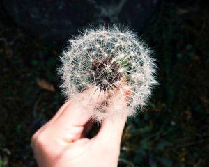 unsplash-pixabay-dandelion-692317_1280