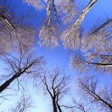 Baumkronen vor blauem Himmel
